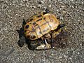 Turtle roadkill 2012-06-17 004.jpg