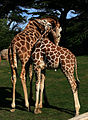 Two male giraffes are necking in San Francisco Zoo 4.jpg