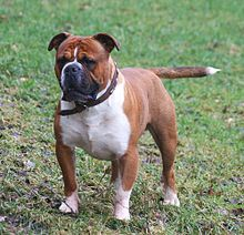Olde English Bulldogge Wikipedia