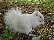 Albino squirrel at UNT (Note the squirrel's pink-colored eye)