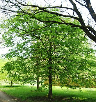 Ulmus thomasii - Rock elm, Meise.