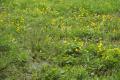 Ulrichstein Feldkruecken Am Melgershain NR 162171 Caltha palustris Pasture S.png