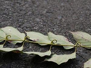 Uncaria rhynchophylla - Leaves