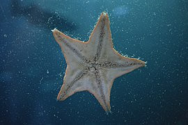 Underside of a Bat Star (Asterina miniata) (7007273378).jpg