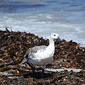 Upland Goose amid kelp on Saunders Island (5552234000).jpg