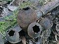 Urnula craterium (Schwein.) Fr 410470.jpg