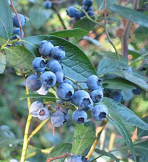 <i>Vaccinium corymbosum</i> Species of plant