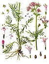 Valeriana officinalis - Köhler–s Medizinal-Pflanzen-143.jpg