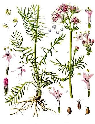 Valerian (herb) - Image: Valeriana officinalis Köhler–s Medizinal Pflanzen 143