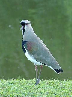 Pássaro Quero-quero - Artigo 240px-Vanellus_chilensis_BR_1