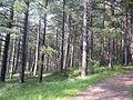 Veel bomen in Middenduin.jpg