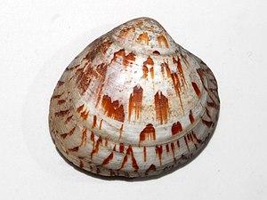Lioconcha - Shell of Lioconcha rumphii at the Museo Civico di Storia Naturale di Milano