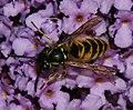 Vespula vulgaris - Flickr - S. Rae.jpg