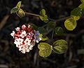 Viburnum carlesii B.jpg