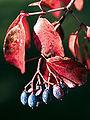 Viburnum rufidulum fruit.jpg
