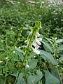 Vicia sylvatica sl36.jpg