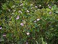 Vigna vexillata (L.) A.Rich. (6225171703).jpg