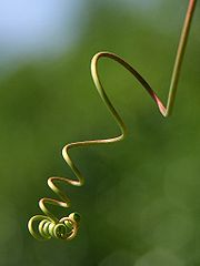 A curling tendril
