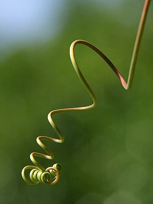 Tendril - A curling tendril