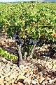 Vineyard in Rhône Valley - Châteauneuf-du-Pape.jpg