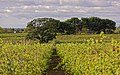Vineyards, Mèze cf01.jpg