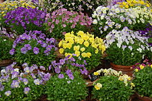 Viola cultivars at BBC Gardeners' World - 20110616.jpg