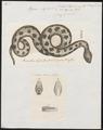Vipera aspis - - Print - Iconographia Zoologica - Special Collections University of Amsterdam - UBA01 IZ11700137.tif