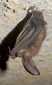 Virginia big eared bat corynorhinus townsendii.jpg