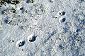 Vulpes.vulpes.tracks.on.snow.jpg