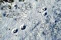 Vulpes.vulpes.tracks.on.snow.jpg