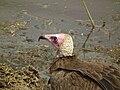 Vulture in Tanzania 3111 Nevit.jpg