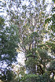 Waipoua Forest, kauri tree.jpg