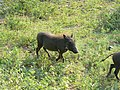 Warthog (394310572).jpg