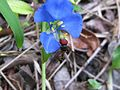 Wasp mimic hover fly on commelina (5389257313).jpg