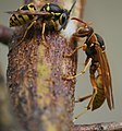Wasps on the Rio Grande No. 1 (9461391727).jpg