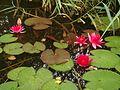 Waterlillies - panoramio.jpg