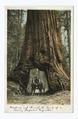 Wawona, Big Trees, Mariposa, Calif (NYPL b12647398-67553).tiff