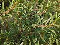 Wedge-leaved Water Croton (8593177222).jpg