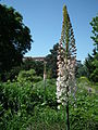 Weiße Blütenkerze.JPG