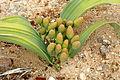 Weibliche Welwitschia.JPG