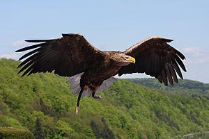 A juvenile bald eagle.