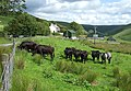 Welsh Blacks and Ty'n Cornel Youth Hostel, Ceredigion - geograph.org.uk - 513379.jpg