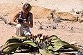 Welwitschia mirablis ^ Ragnhild-4657 - Flickr - Ragnhild & Neil Crawford.jpg