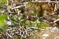 Western Green Lizard (Lacerta bilineata) - Flickr - berniedup (1).jpg
