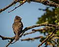 Western Wood-Pewee (Explored 5-21-17 -497) (34422054950).jpg