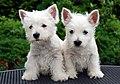 Westie pups.jpg