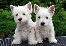 Two white terrier puppies stand next to each other: They appear less furry than the adults of their breed, and the pinkness inside the ears is evident.