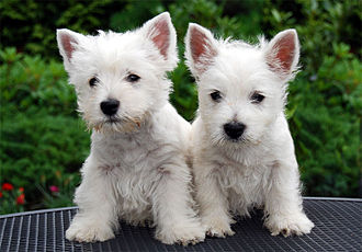 West Highland White Terrier - Two Westie puppies