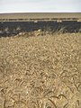 Wheat field near Sapir college firebombe kite damage 551.jpg