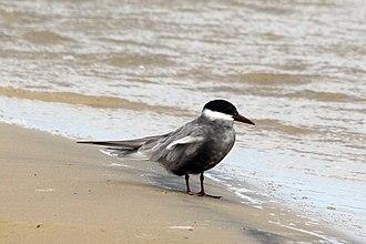 Whiskered tern - Summer plumage Kwa-Zulu Natal, South Africa